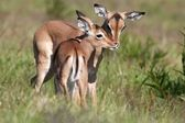 Baby Impala Antelope Kiss — Stock Photo