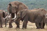 African Elephant Mates — Stock Photo