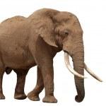 African Elephant - Isolated — Stock Photo