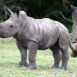 baby rhinoceros — Stock Photo