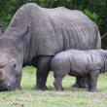Baby Rhinoceros and Mom — Stock Photo #9608561