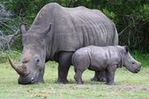 Baby Rhinoceros and Mom — Stockfoto