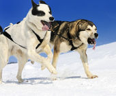 Sportive dogs — Stock Photo