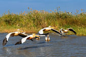 Group of pelicans — Stock Photo