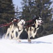 Stock Photo: Sportive dogs