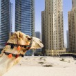 Camel in the city - Stock Photo