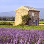 Lavender in the landscape — Stock Photo