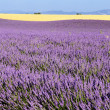 Stock Photo: Lavender in landscape