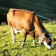 Stock Photo: Alpine cow