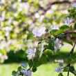 White Blooming apple tree branches — Stock Photo #9446406