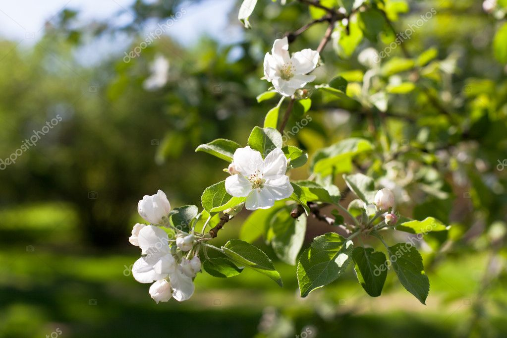 White Blooming apple tree branches. Horizontal shot  Stock Photo #9446408