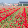 Red tulip field in Holland — Stock Photo #9728377