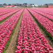 Vinous tulip field in Holland — Stock Photo
