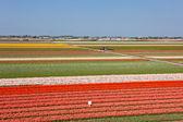 Campo del tulipán multicolor en holanda — Foto de Stock