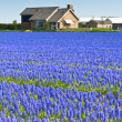 Blue Muscari field in Holland — Stock Photo #9750415