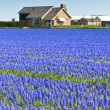 Blue Muscari field in Holland — Stock Photo