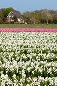 オランダのヒヤシンス フィールド — ストック写真