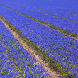 Blue Muscari (hyacinth) field - II — Stock Photo