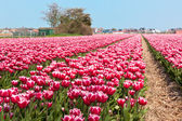 Multicolored tulip field — Stock Photo
