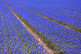 Blue Muscari (hyacinth) field - II — Stock Photo