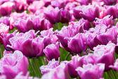 Lila tulpenfeld in den niederlanden. closeup — Stockfoto