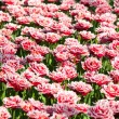 Stock Photo: Multicolored tulips field