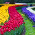 Bright flowerbed in Keukenhof — Stock Photo #9971684