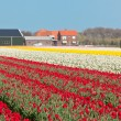 Multicolored flowers field in Holland — Stock Photo