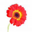 Red Gerber Flower — Stock Photo #10219136