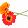 Red and orange gerbera flower — Stock Photo