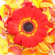 Beautiful daisy gerbera flowers - Stock Photo