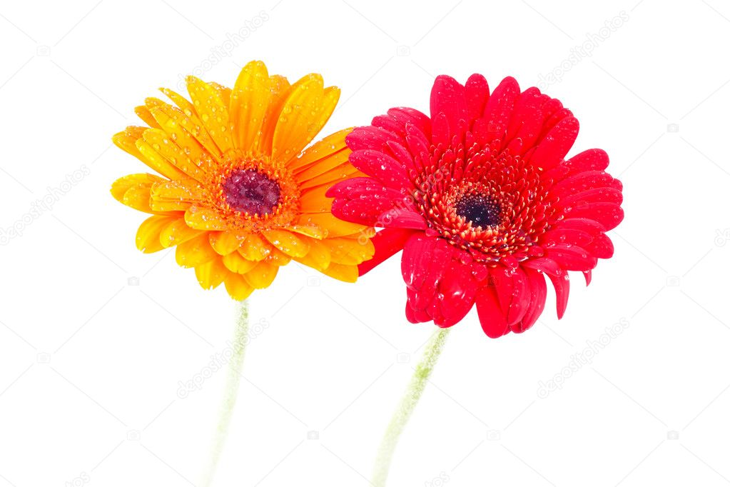 Two gebera (african daisy) isolated on white  — Stock Photo #10219124