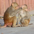 Jaipur, indian monkeys — Stock Photo