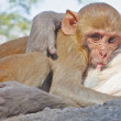 Jaipur, indian monkeys - Stock Photo