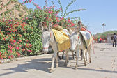 Donkey taken in Rajastan — Stock Photo
