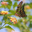Amasing green tropic butterfly — Stock Photo