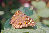 Chocolate Pansy butterfly — Stockfoto