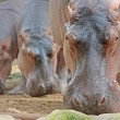 Funny hippopotami in the Trivirandrum Zoo - Stock Photo