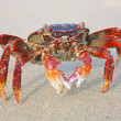 Funny red crab on the beach in Varkala — Stock Photo #9108262