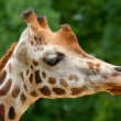 Giraffe head — Stock Photo #9012040