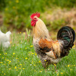 Hen and rooster in the garden — Stock Photo