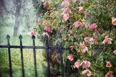 Bela rosa vermelha no jardim. — Fotografia Stock