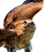 Portrait hawk on falconer gloves — Stock Photo