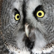 The Great Grey Owl - Stock Photo
