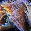 Sea anemone - Stock Photo