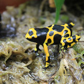 Tropical Frog — Stock Photo