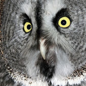 The Great Grey Owl — Stock Photo