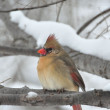Stock Photo: Northern Cardinal,Female