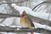 Northern Cardinal,Female — Stock Photo