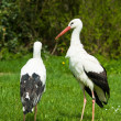 Royalty-Free Stock Photo: White Stork